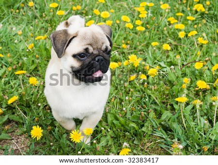 charming puppy of the pug rests on field with dandelion - stock photo