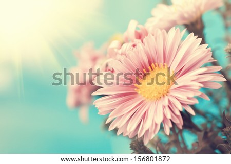charming vintage pale pink aster close up - stock photo