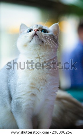 charming white fluffy kitten with blue eyes - stock photo