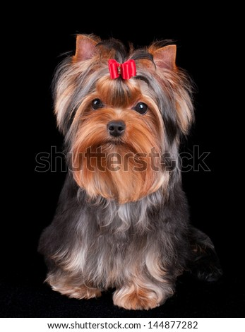 Charming Yorkshire Terrier with red bow over black background