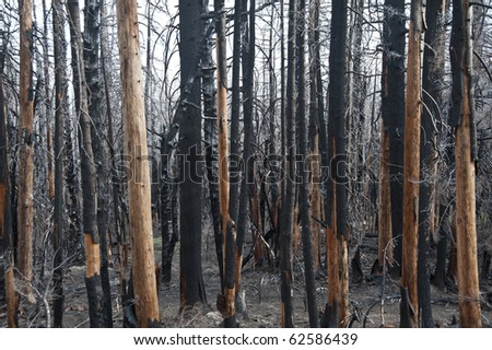 Charred and blackened forest after a fire has passed through - stock photo