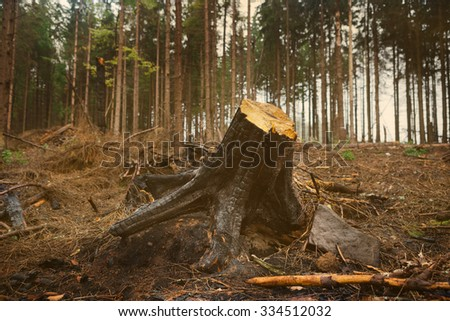 charred pine tree stump in the forest - stock photo
