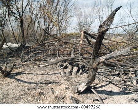 charred trunks of trees after fire - stock photo