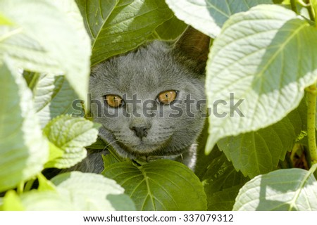 Chartreux cat in the middle of leafs - stock photo
