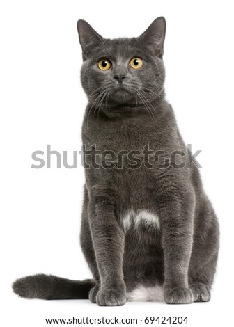 Chartreux cat, 6 months old, sitting in front of white background - stock photo