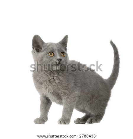 Chartreux Kitten in front of a white background