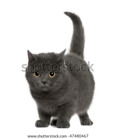 Chartreux (8 months old) in front of a white background