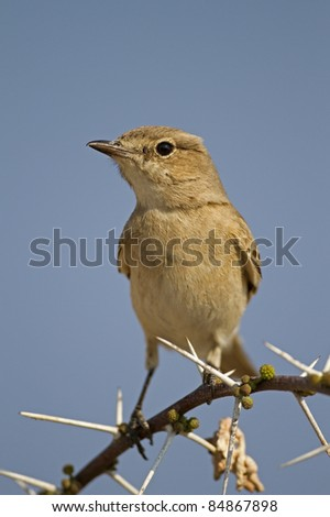 Chat Flycatcher perched on thorn twig; Bradornis infuscatus