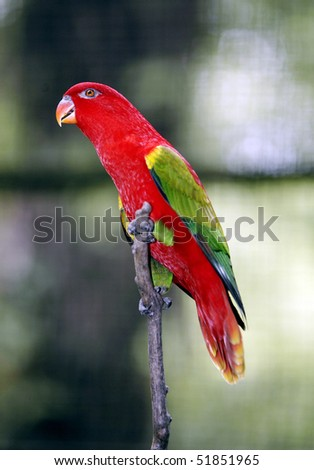 Chattering Lory 1 - stock photo