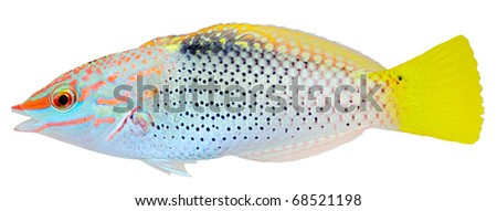 Checkerboard Wrasse isolated on white background. Halichoeres hortulanus