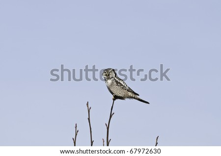 Checking out the paparazzi.The hawk owl is a day time hunter.This is a rare sighting in Vancouver - stock photo