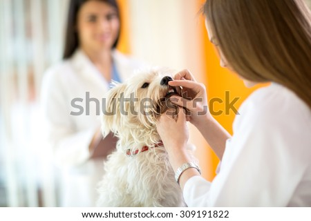 Checking teeth of cute Maltese dog by veterinarian in vet clinic - stock photo