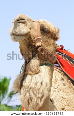 cheerful camel - stock photo