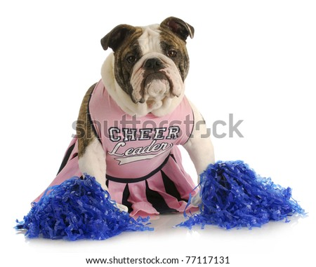 cheerful dog - english bulldog dressed up like a cheerleader with pompoms - stock photo