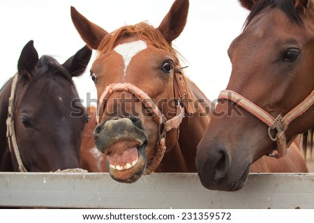 Cheerful horse smiling and showing his teeth  - stock photo