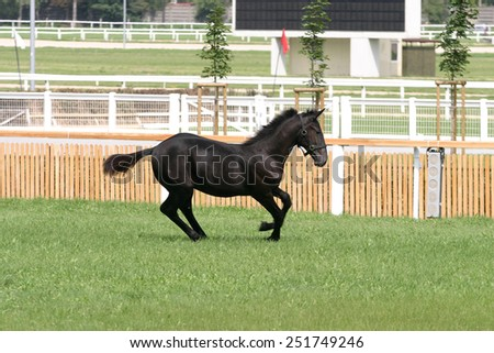 Cheerful little purebred warm-blood foal galloping on horse track - stock photo