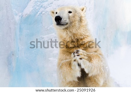 Cheerful polar bear in the Zoo, slapping in the paws