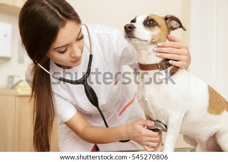 Cheerful vet. Shot of a young female veterinarian doctor using stethoscope listening to the heartbeat of a jack russel terrier canine at the vet clinic pet dog canine heart healthcare vet clinic