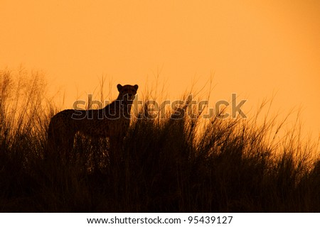 Cheetah, Acinonyx jubatus - stock photo