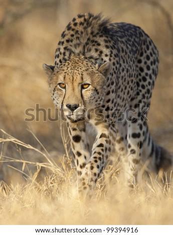 Cheetah (Acinonyx jubatus) alert and stalking, South Africa - stock photo