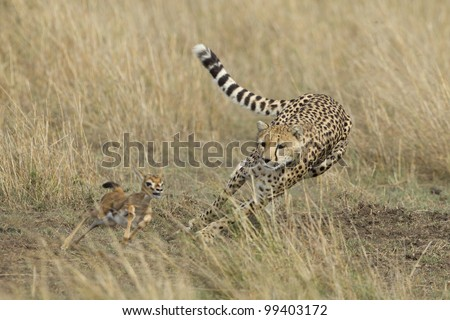 Cheetah (Acinonyx jubatus) chasing a young Thompson's Gazelle, Masai Mara, Kenya - stock photo