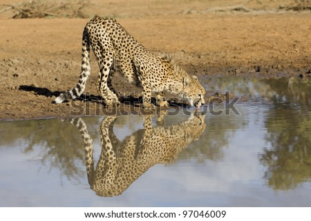 Cheetah (Acinonyx jubatus) drinking