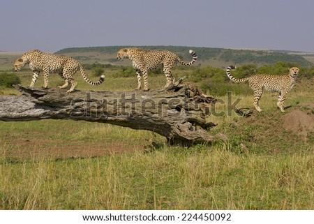 Cheetah (Acinonyx jubatus) Face closeup. - stock photo