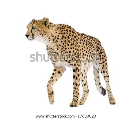 Cheetah - Acinonyx jubatus in front of a white background - stock photo