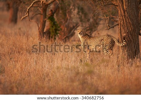 Cheetah, Acinonyx jubatus in the front of old trees, observing dry savanna in the colorful evening light against blurred reddish background. Typical KwaZulu Natals environment. South Africa. - stock photo