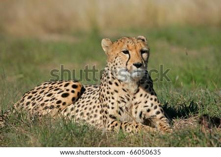 Cheetah (Acinonyx jubatus) lying in the grass, South Africa - stock photo