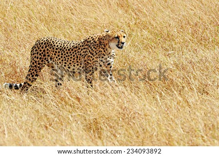 Cheetah (Acinonyx jubatus) on the Masai Mara National Reserve safari in southwestern Kenya. - stock photo