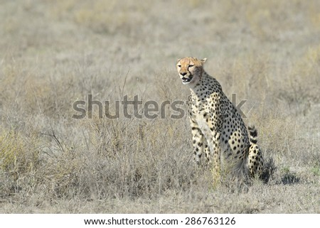 Cheetah (Acinonyx jubatus) sitting on savanna, looking around, Serengeti national park, Tanzania. - stock photo