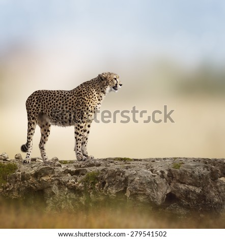 Cheetah (Acinonyx jubatus) Stands  On Top of a Rock - stock photo