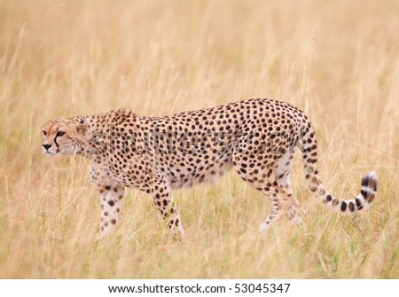 Cheetah (Acinonyx jubatus) walking in savannah in South Africa - stock photo