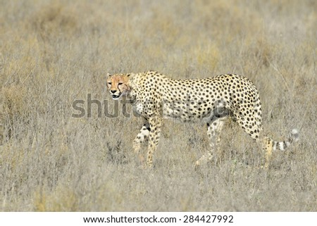 Cheetah (Acinonyx jubatus) walking on savanna, looking at the camera, Serengeti national park, Tanzania. - stock photo