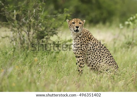 Cheetah, Acinonyx jubatus, wet season, Kruger National Park, South Africa