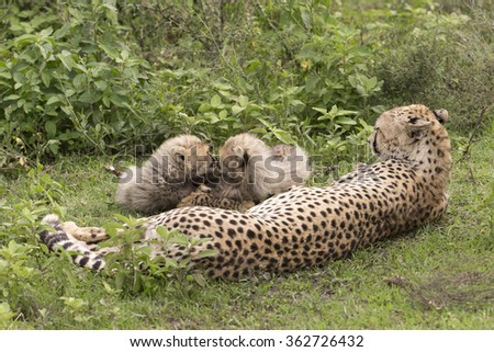 Cheetah and cubs in the Serengeti preserve, Tanzania Africa - stock photo