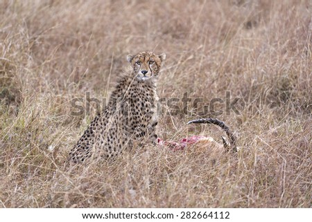 Cheetah and its kill,  Masai Mara National Reserve, Kenya, East Africa - stock photo