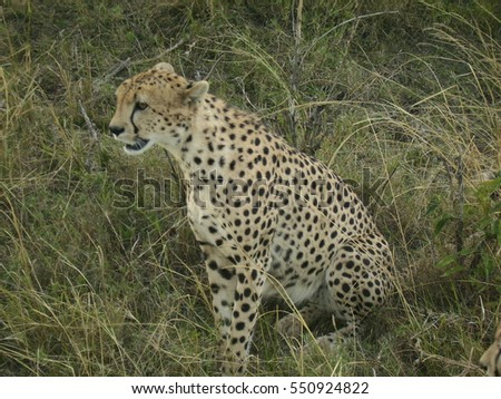 Cheetah before hunting