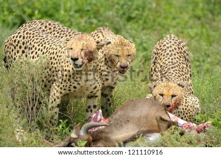 Cheetah brothers at wildebeest kill at Serengeti National Park in Tanzania - stock photo