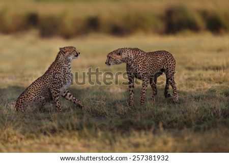 Cheetah brothers early in the morning in the marsh of Ngorongoro Conservation Area, Tanzania - stock photo