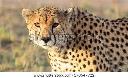 Cheetah close up - stock photo