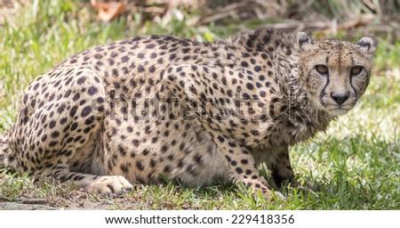 Cheetah crouching and staring  - stock photo