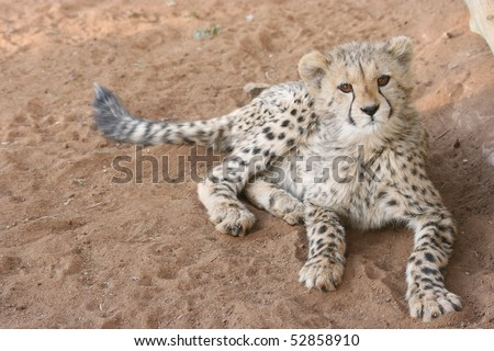Cheetah cub - stock photo