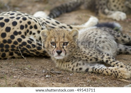 Cheetah cub after kill - stock photo
