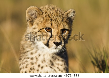 Cheetah cub close-up - stock photo
