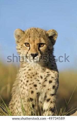 Cheetah cub curiously looks on - stock photo