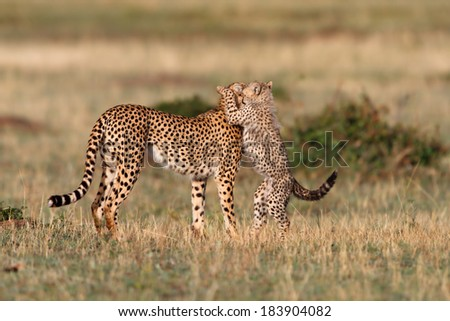 Cheetah cub gives mother a kiss in Masai Mara, Kenya - stock photo