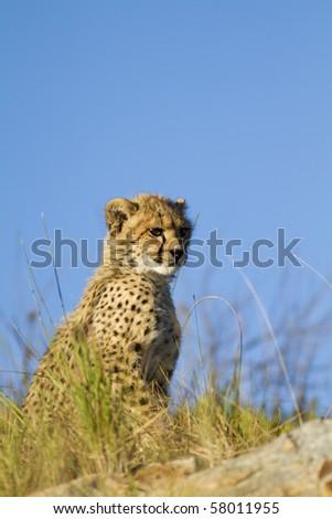 Cheetah cub on outcrop - stock photo