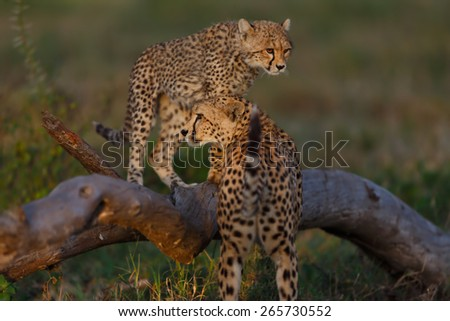 Cheetah cub with mother early morning in the Serengeti, Tanzania - stock photo
